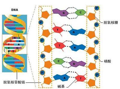 dna双螺旋结构示意图